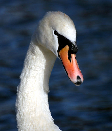 Another swan.