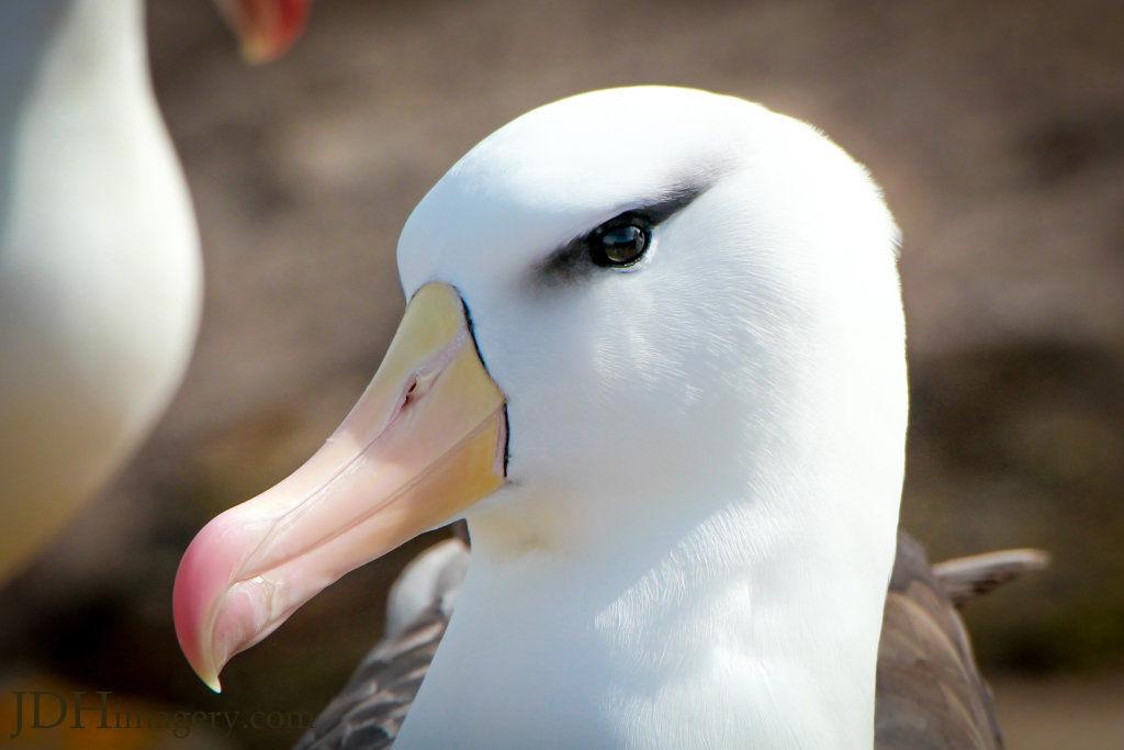 The beautiful smoky eye of the black browed albatross