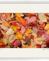 Autumn Leaf Colour