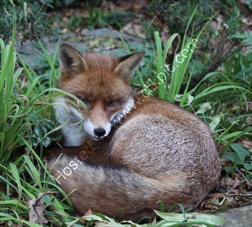 fox, photograph