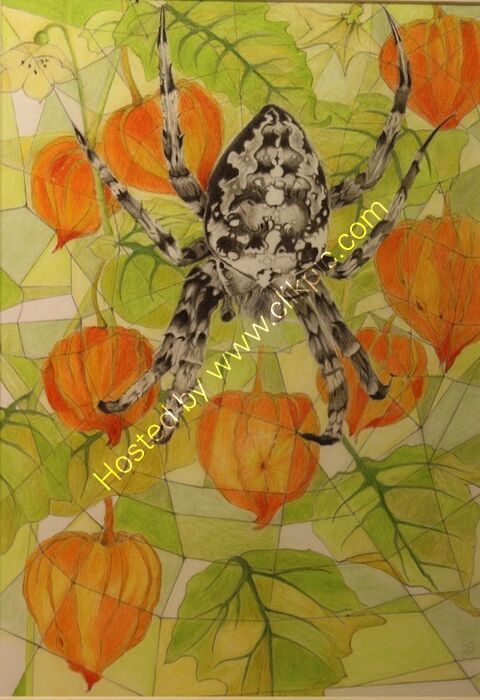 physalis, Chinese lanterns, coloured pencil, drawing, garden spider