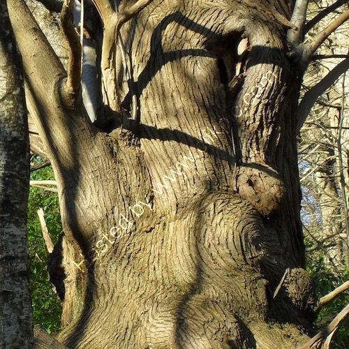 swirling sweet chestnut