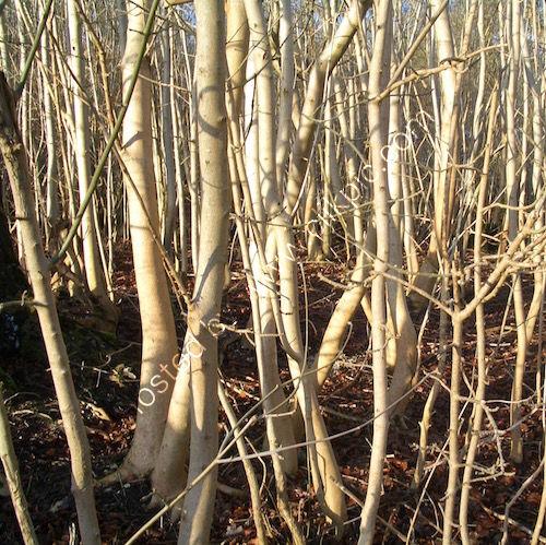 vertical pale tree trunks, woodland Sheepleas surrey