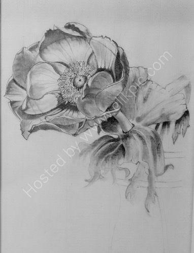 pencil drawing, anemone