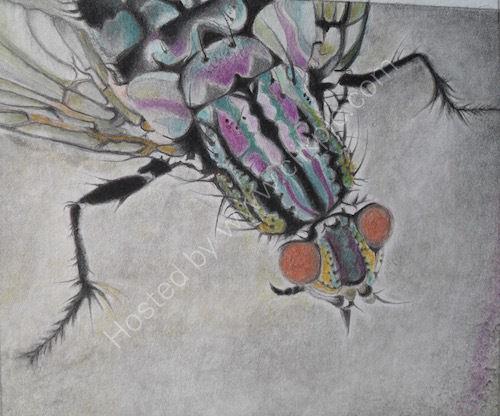 sarcophaga carnaria, flesh-fly, drawing, coloured pencil