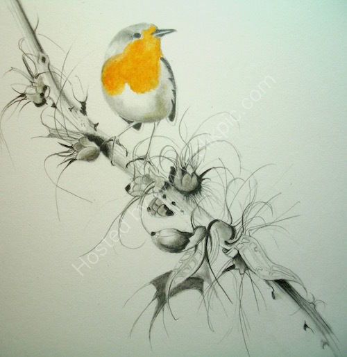 robin, drawing, acanthus, graphite, coloured pencil, winter.