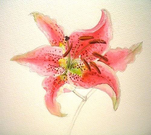 pink lily, acrylic paint and pencil, flower, drawing
