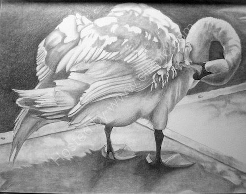 preening swan, pencil drawing