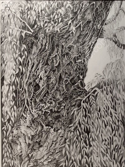 willow tree, drawing, pencil and graphite.