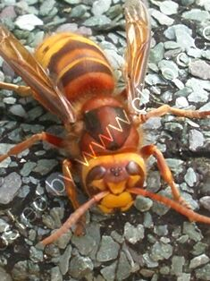 hornet, photograph