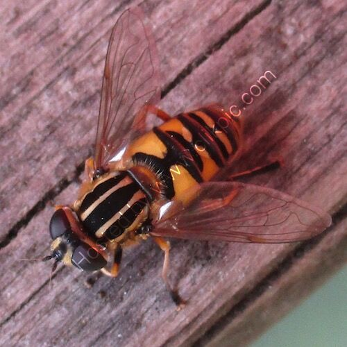 hoverfly photograph