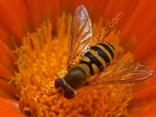 hoverfly, gazania, photograph