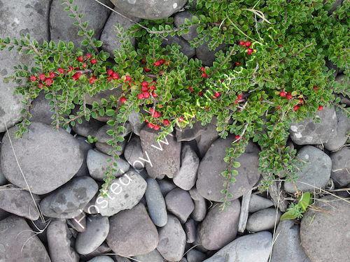 cotoneaster and pebbles, porlock beach