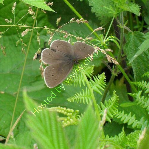 ringlet butterfly, phototraph