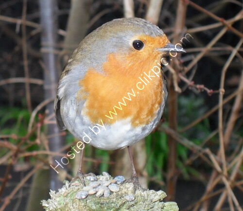 robin, photograph