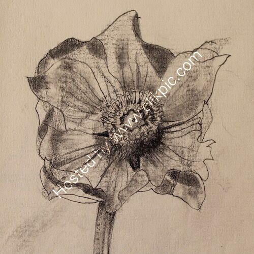 blue anemone 1