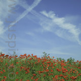 Poppies and plane trails