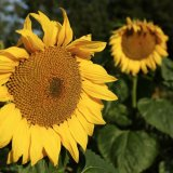 Pair of sunflowers
