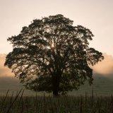 Oak Tree in Mist