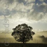 Morning Oak Tree