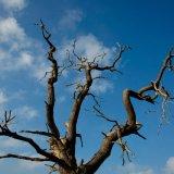 Dead Oak Tree against a Blue Sky