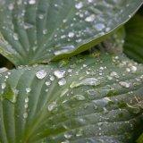 Rain drops on hosta leaf