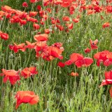 Poppies on a bank