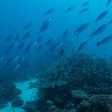 Fusilier Fish - Philippines