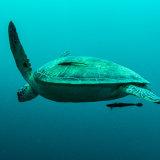 Turtle with Remora - Philippines