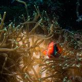 Anemone Fish - Philippines