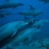 Pod of Dolphins - Red Sea