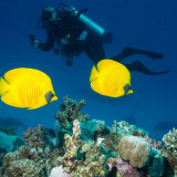 Masked Butterflyfish - Red Sea