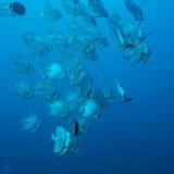 Shoal of Spadefish - Red sea