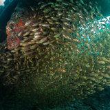 Glass Fish - Shag Rock Red Sea