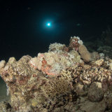 Scorpion Fish on the Carnetic - Red Sea
