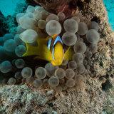 Anemone Fish - Red Sea