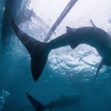 Whale Sharks - Philippines