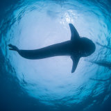 Whale Shark in Snells Window - Philippines