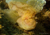 Leaf fish or leaf scorpionfish