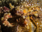 Sponge spider crab