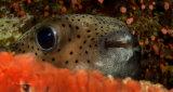 Common porcupine fish