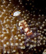 Peacocktail anemone shrimp