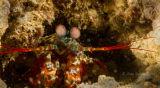 Coloured mantis shrimp