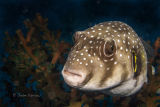 White spotted pufferfish