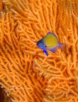 Juvenile damsel fish
