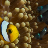 Two-banded anemone fish