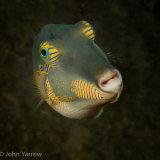 Orangestriped triggerfish