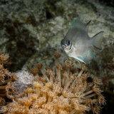 White-belly damselfish