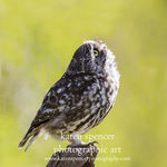 little owl-up 068