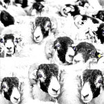 Swaledale sheep 019